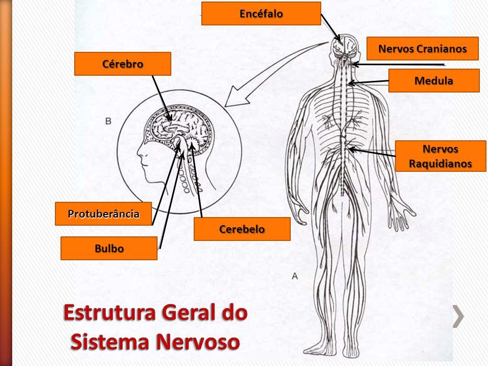 Estrutura Geral do Sistema Nervoso