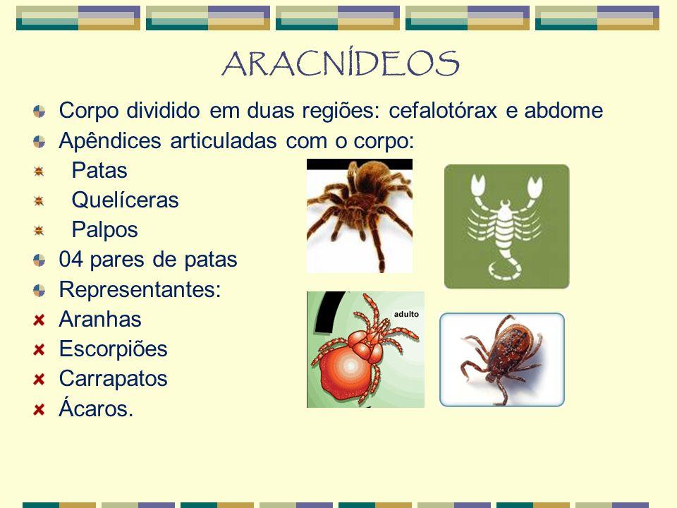 ARACNÍDEOS Corpo dividido em duas regiões: cefalotórax e abdome