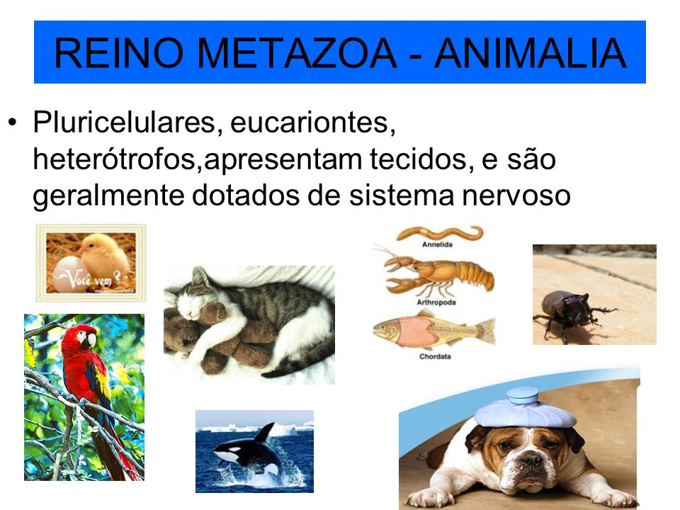 REINO METAZOA - ANIMALIA