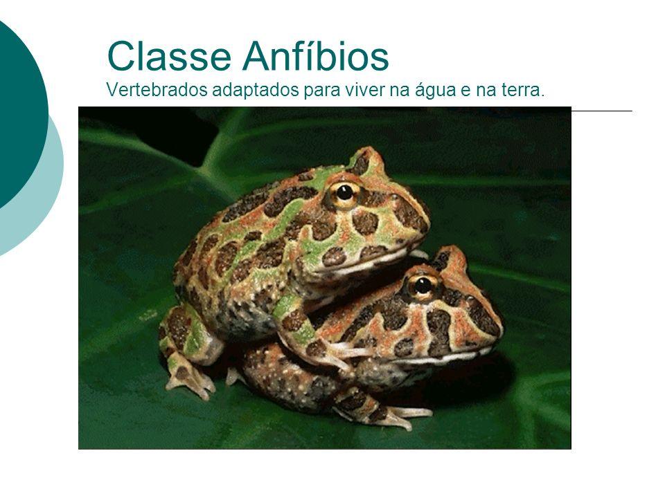 Classe Anfíbios Vertebrados adaptados para viver na água e na terra.