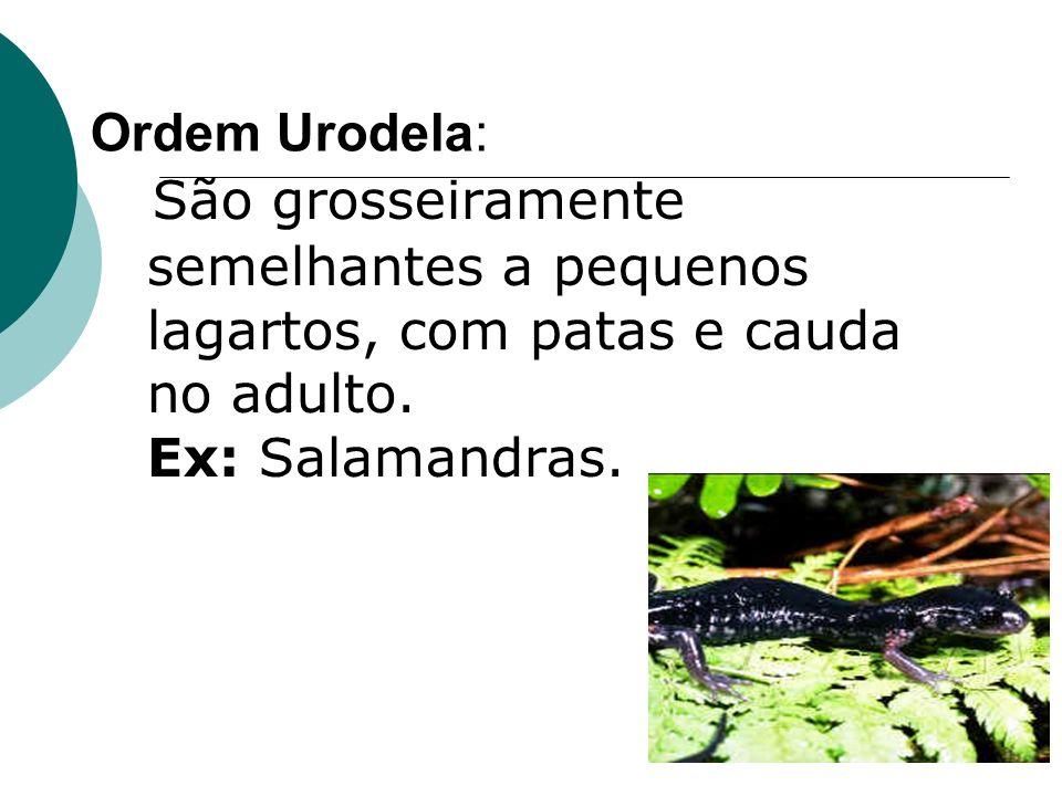 Ordem Urodela: São grosseiramente semelhantes a pequenos lagartos, com patas e cauda no adulto.