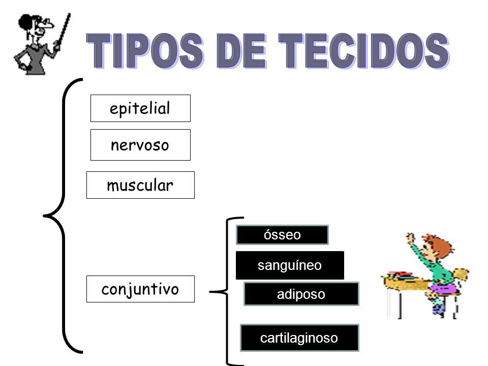 TIPOS DE TECIDOS epitelial nervoso muscular conjuntivo ósseo sanguíneo