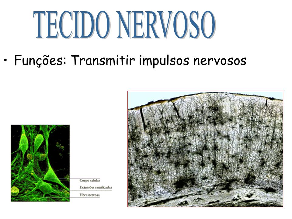 TECIDO NERVOSO Funções: Transmitir impulsos nervosos