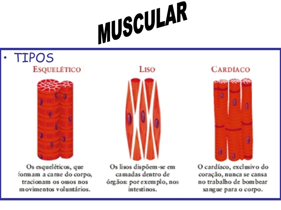 MUSCULAR TIPOS