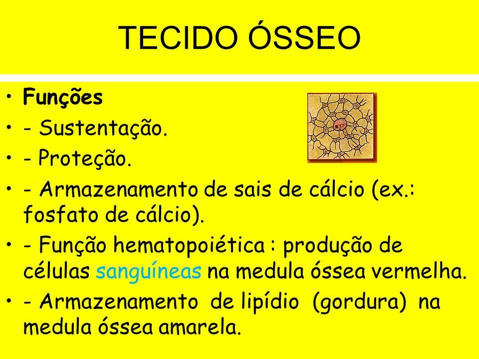 TECIDO ÓSSEO Funções - Sustentação. - Proteção.