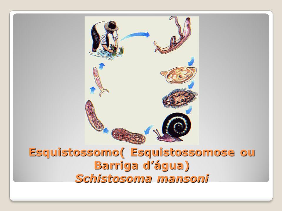 Esquistossomo( Esquistossomose ou Barriga d'água) Schistosoma mansoni