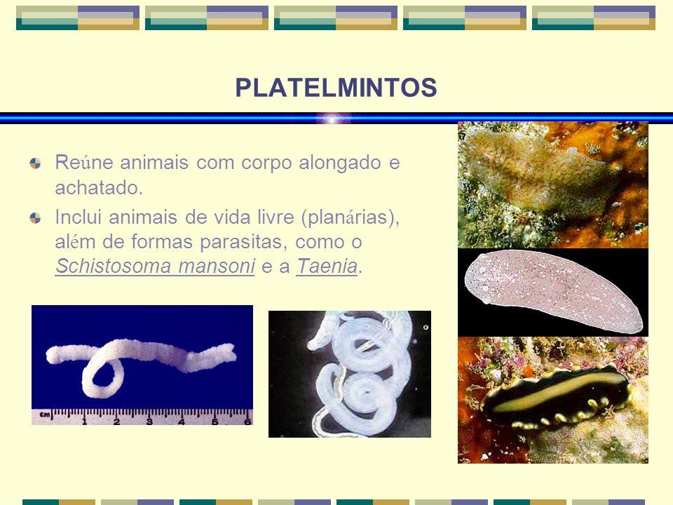 PLATELMINTOS Reúne animais com corpo alongado e achatado.