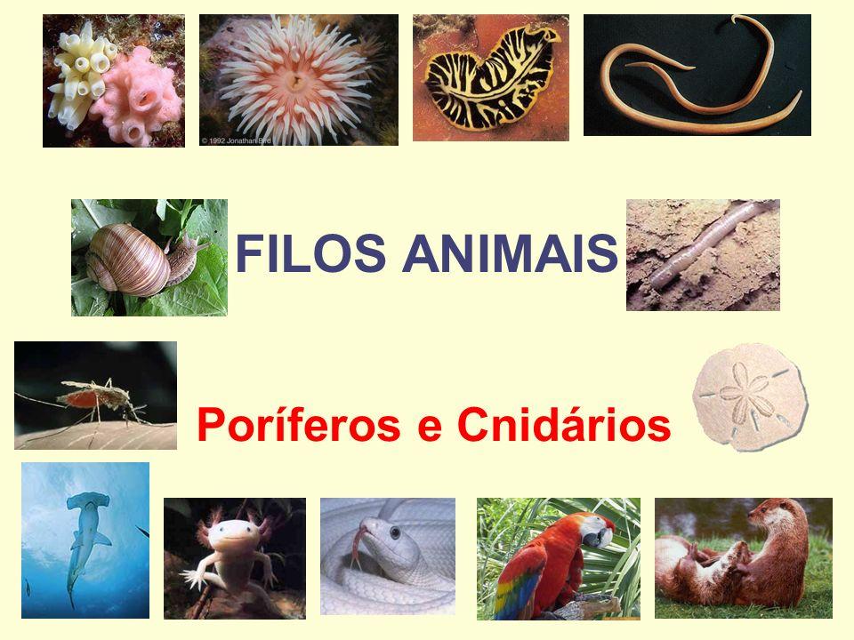 FILOS ANIMAIS Poríferos e Cnidários