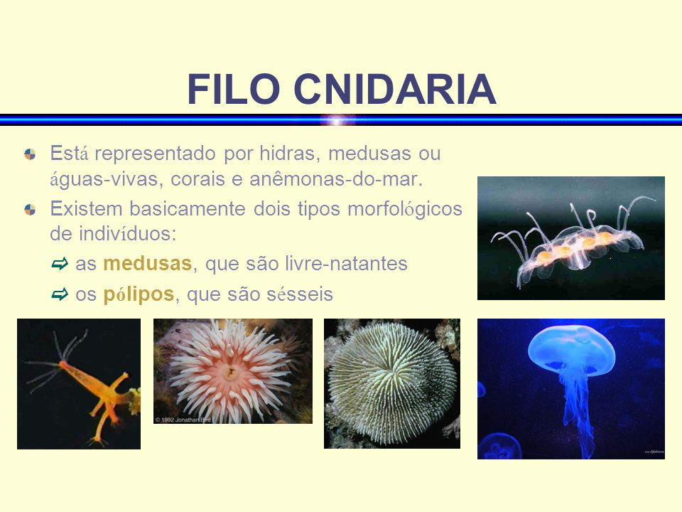 FILO CNIDARIAEstá representado por hidras, medusas ou águas-vivas, corais e anêmonas-do-mar.
