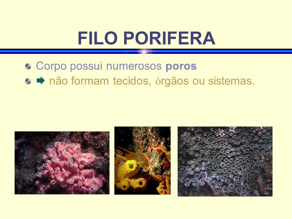 FILO PORIFERA Corpo possui numerosos poros