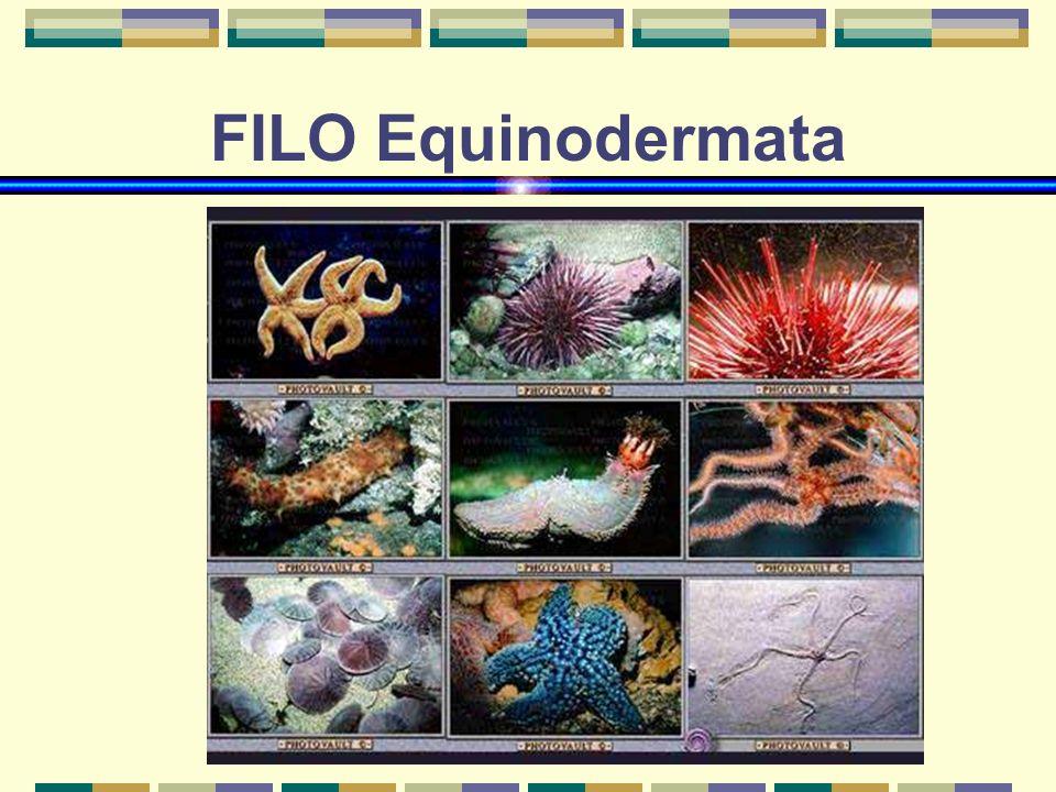 FILO Equinodermata