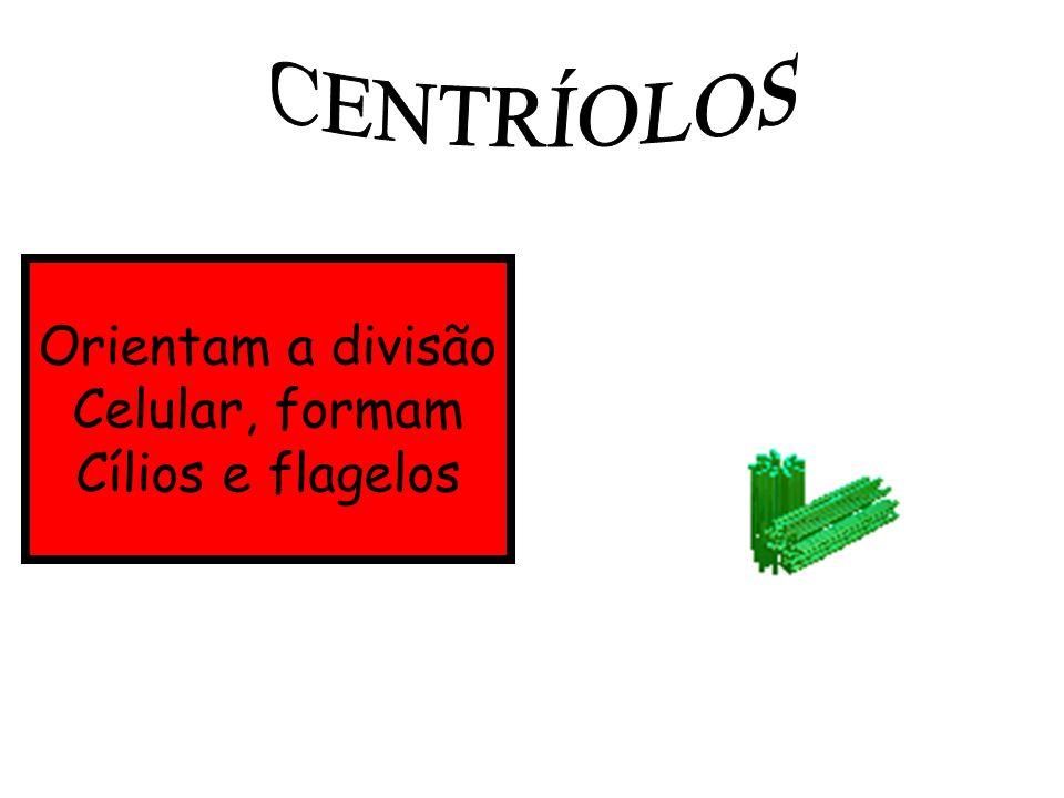 CENTRÍOLOS Orientam a divisão Celular, formam Cílios e flagelos