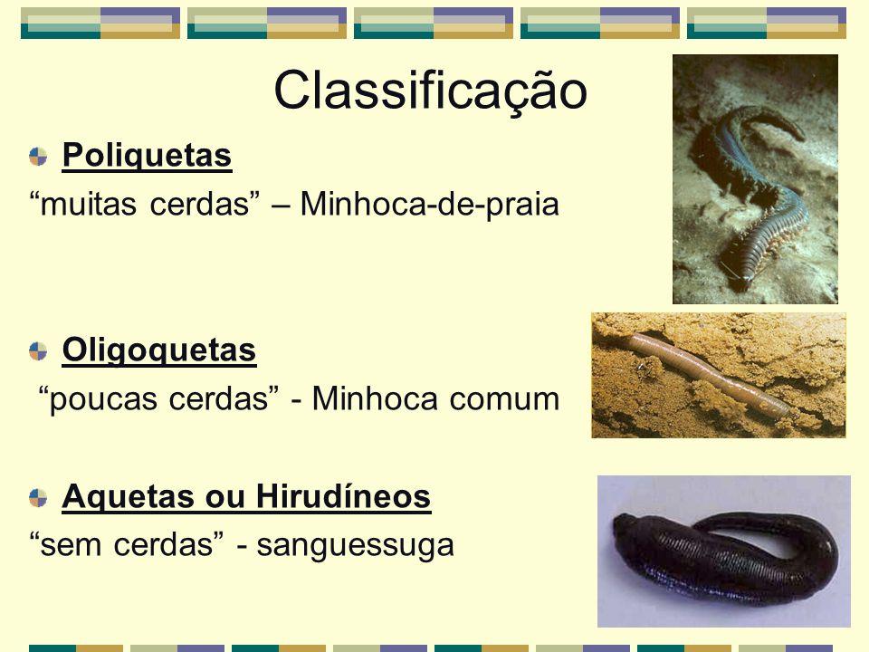 Classificação Poliquetas muitas cerdas – Minhoca-de-praia