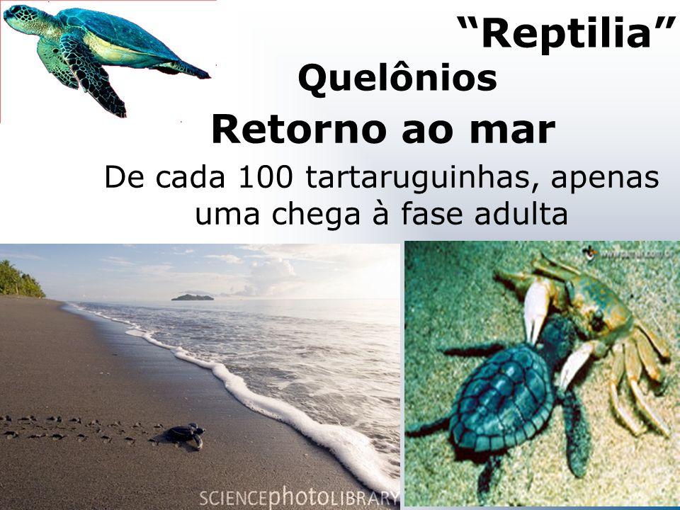 De cada 100 tartaruguinhas, apenas uma chega à fase adulta