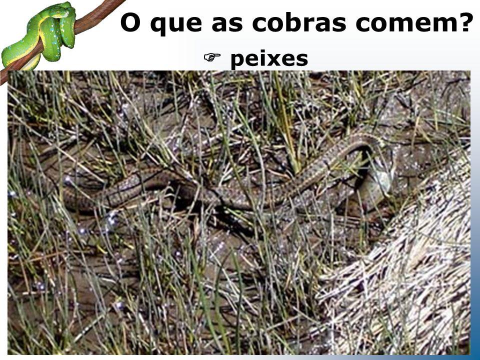 O que as cobras comem  peixes