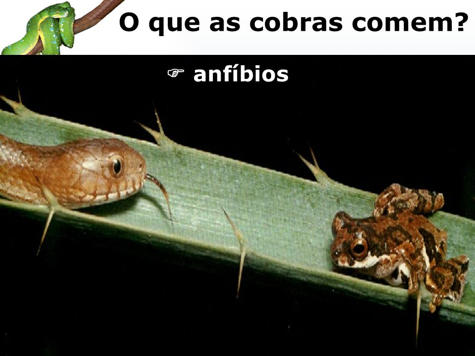 O que as cobras comem  anfíbios