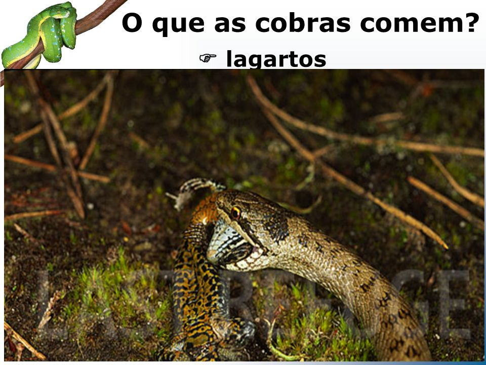 O que as cobras comem  lagartos