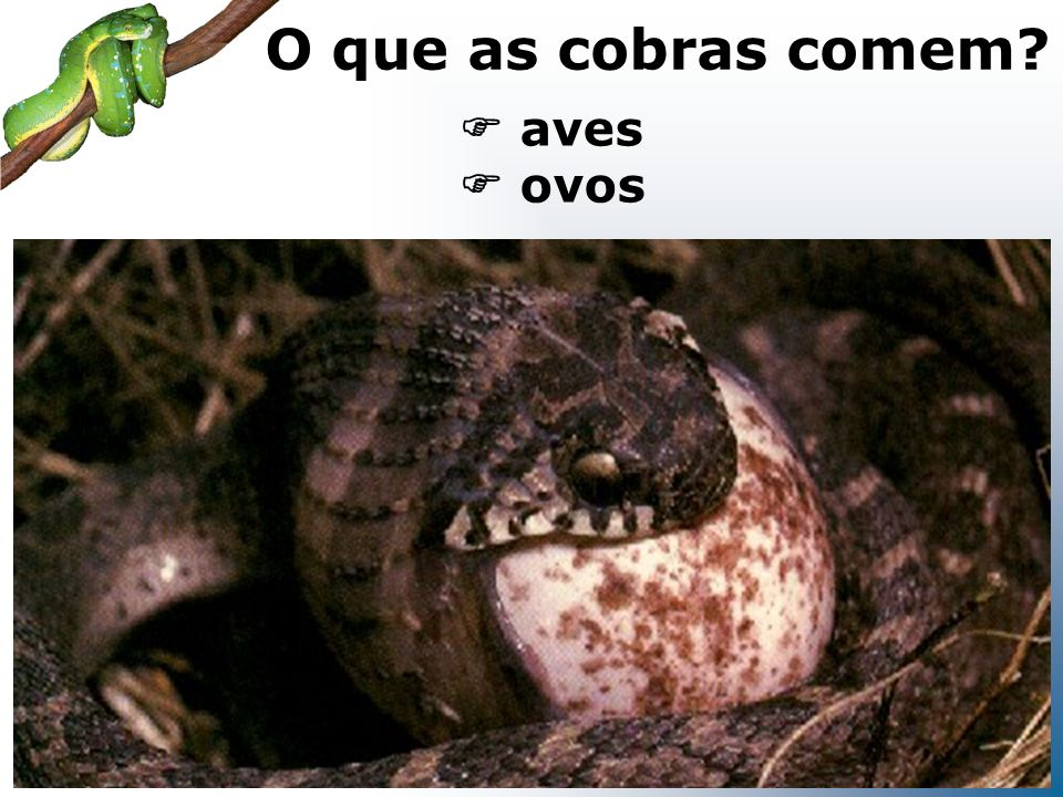 O que as cobras comem  aves  ovos