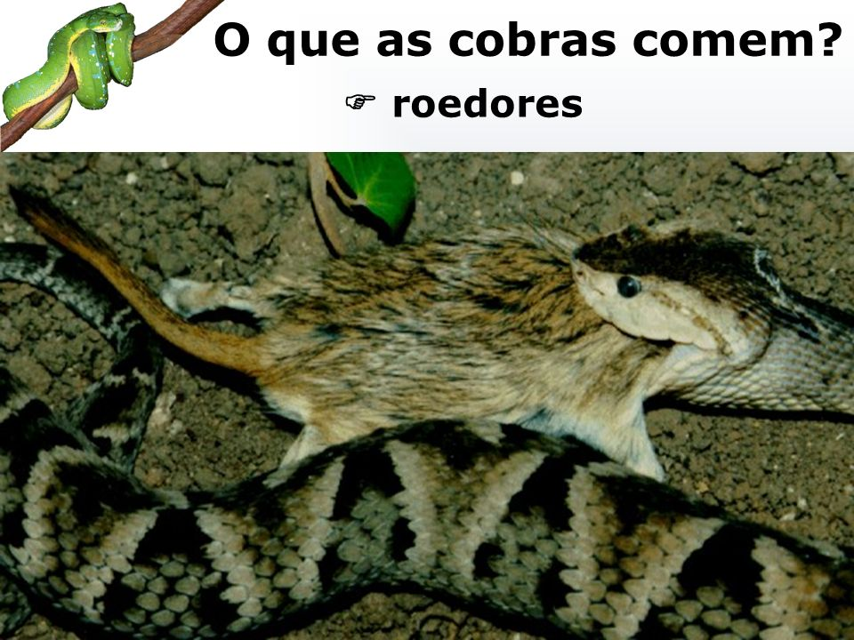 O que as cobras comem  roedores