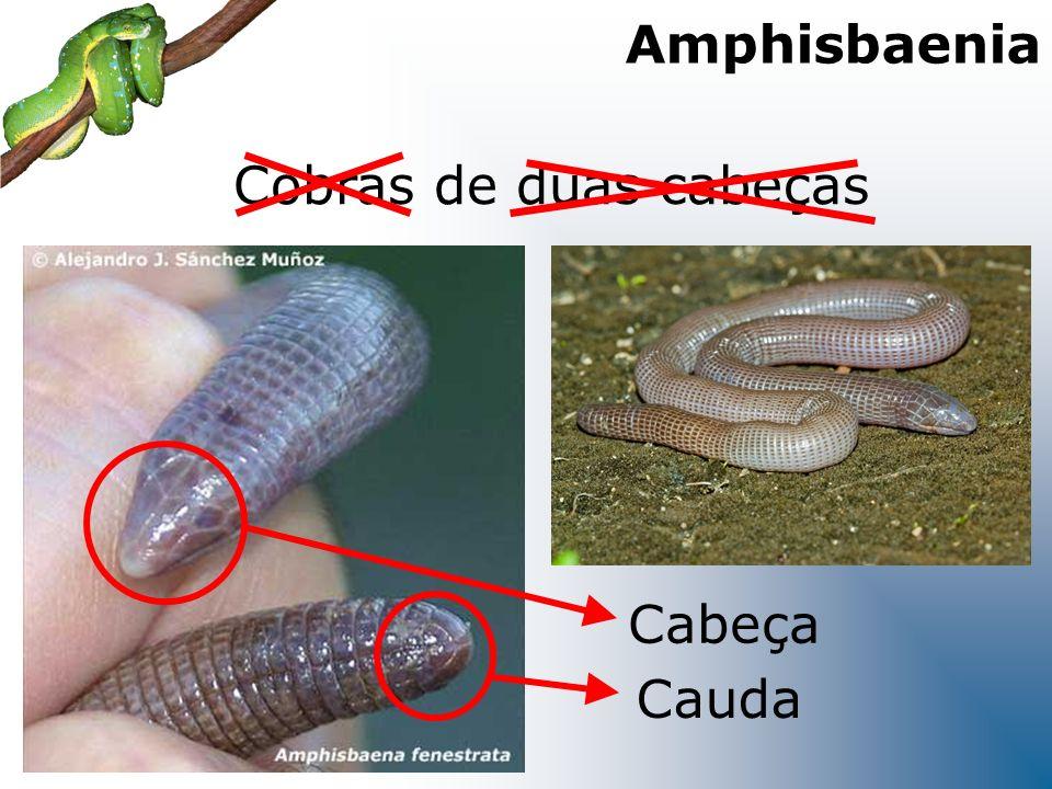 Amphisbaenia Cobras de duas cabeças Cabeça Cauda