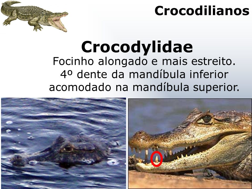 Crocodylidae Crocodilianos