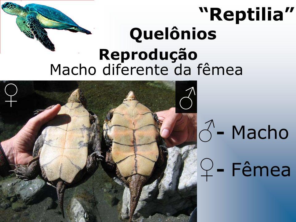 ♀ ♂ ♂- Macho ♀- Fêmea Reptilia Quelônios Reprodução