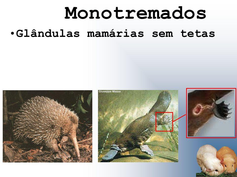 Monotremados Glândulas mamárias sem tetas