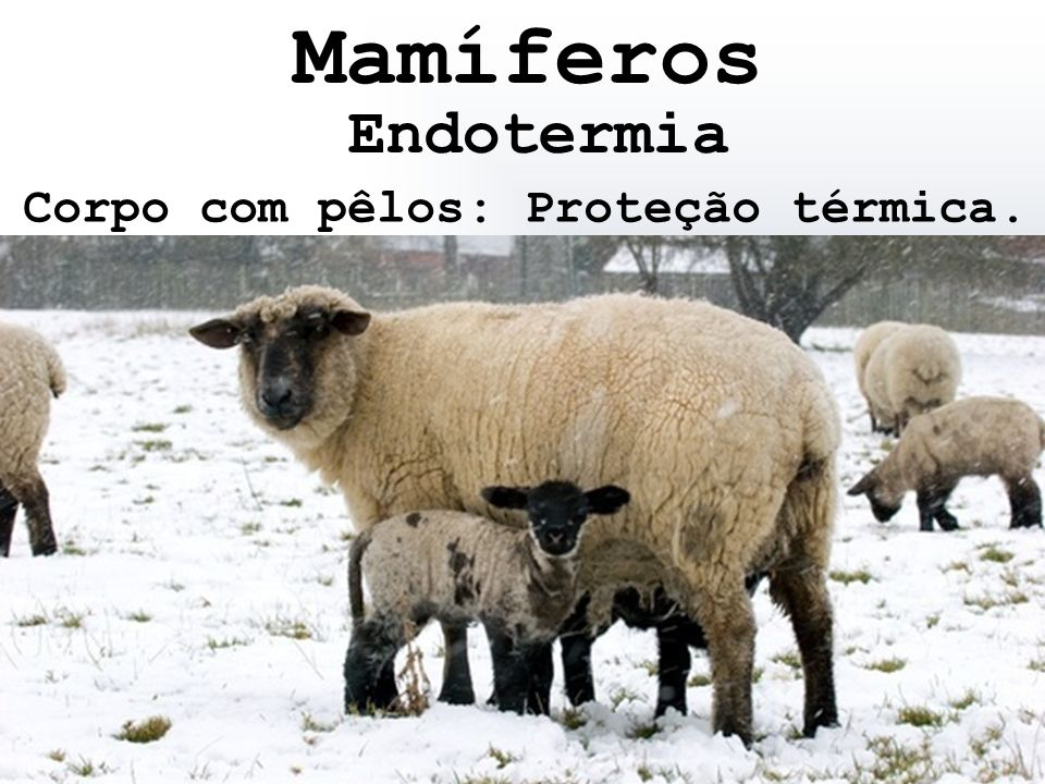 Mamíferos Endotermia Corpo com pêlos: Proteção térmica.