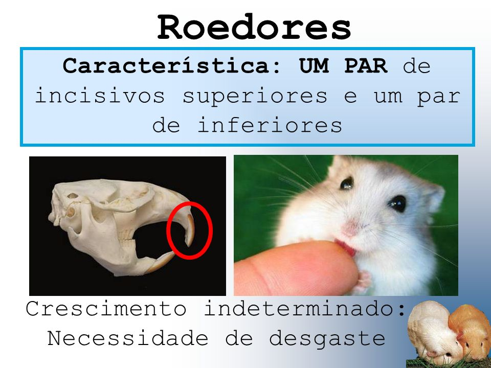 Roedores Característica: UM PAR de incisivos superiores e um par de inferiores.