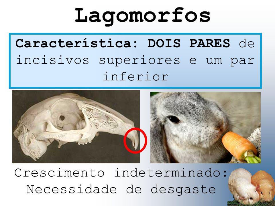 Lagomorfos Característica: DOIS PARES de incisivos superiores e um par inferior.