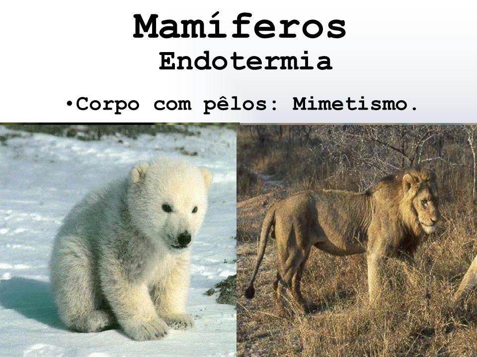 Mamíferos Endotermia Corpo com pêlos: Mimetismo.