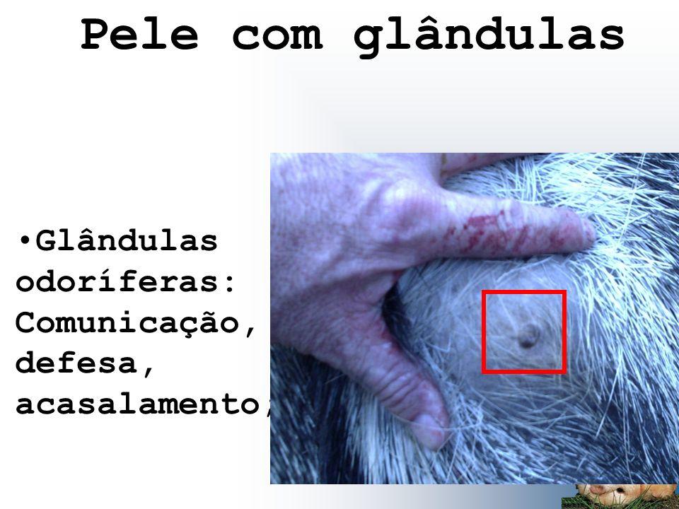 Pele com glândulas Glândulas odoríferas: Comunicação, defesa, acasalamento;