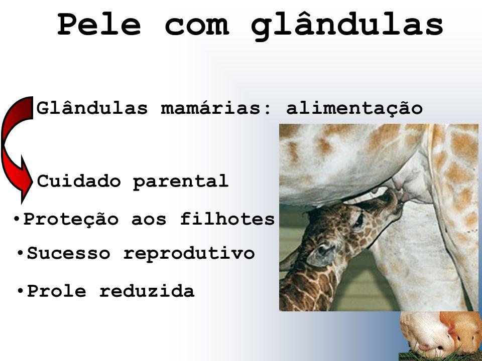 Pele com glândulas Glândulas mamárias: alimentação Cuidado parental