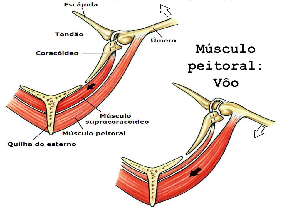 Reptilia – Aves Músculo peitoral: Vôo