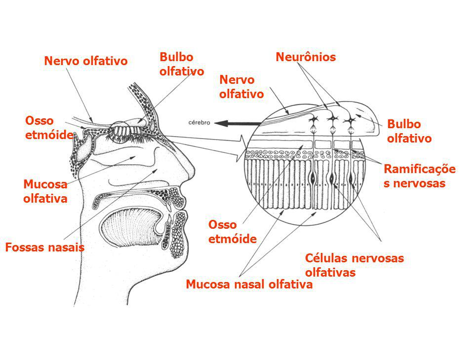 Bulbo olfativo Neurônios. Nervo olfativo. Nervo olfativo. Osso etmóide. Bulbo olfativo. Ramificações nervosas.