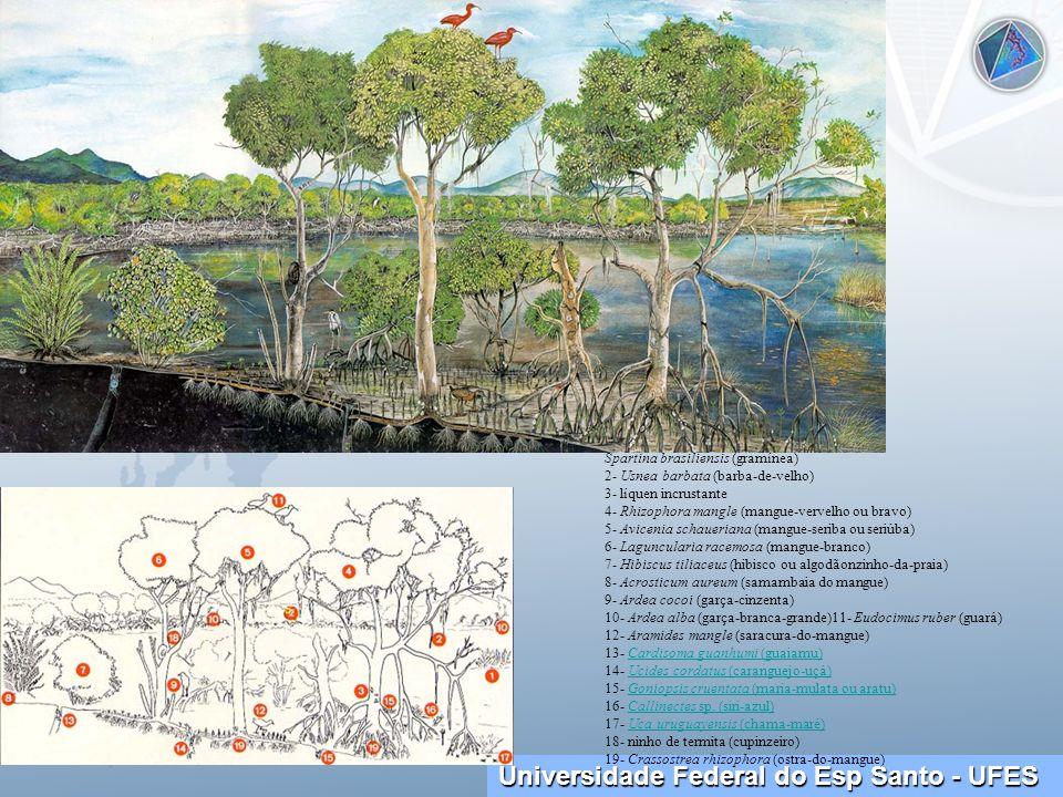 Spartina brasiliensis (gramínea) 2- Usnea barbata (barba-de-velho) 3- líquen incrustante 4- Rhizophora mangle (mangue-vervelho ou bravo) 5- Avicenia schaueriana (mangue-seriba ou seriúba) 6- Laguncularia racemosa (mangue-branco) 7- Hibiscus tiliaceus (hibisco ou algodãonzinho-da-praia) 8- Acrosticum aureum (samambaia do mangue) 9- Ardea cocoi (garça-cinzenta) 10- Ardea alba (garça-branca-grande)11- Eudocimus ruber (guará) 12- Aramides mangle (saracura-do-mangue) 13- Cardisoma guanhumi (guaiamu) 14- Ucides cordatus (caranguejo-uçá) 15- Goniopsis cruentata (maria-mulata ou aratu) 16- Callinectes sp.