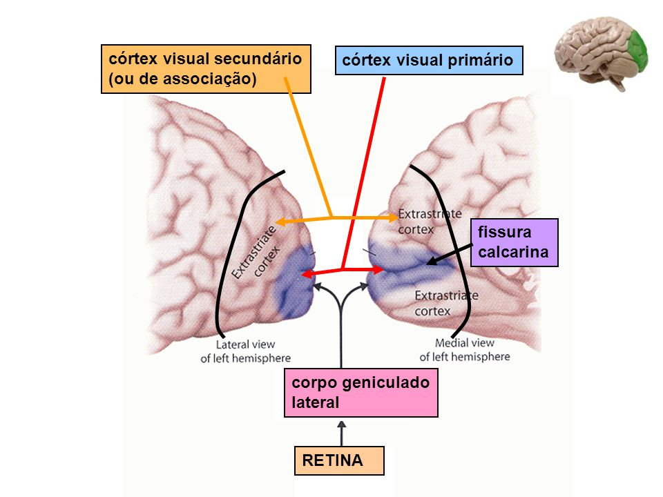 córtex visual secundário