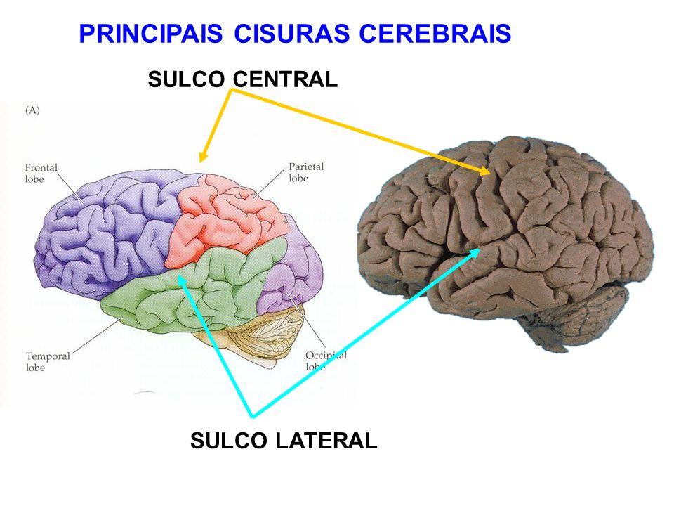 PRINCIPAIS CISURAS CEREBRAIS
