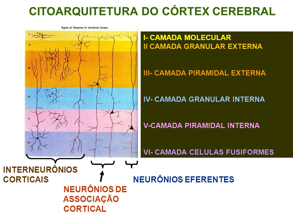 CITOARQUITETURA DO CÓRTEX CEREBRAL