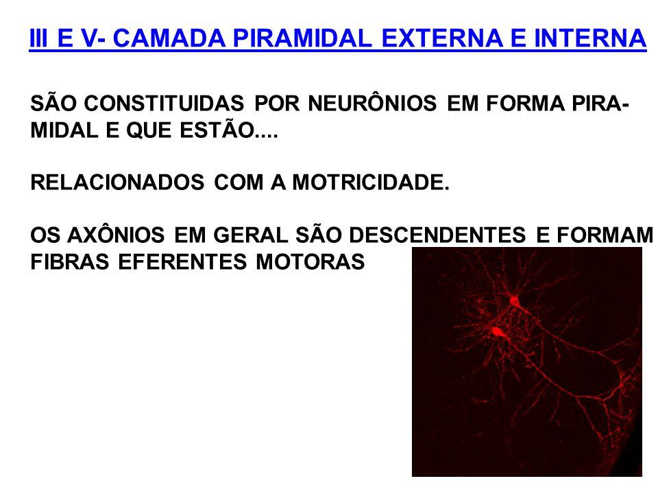 III E V- CAMADA PIRAMIDAL EXTERNA E INTERNA