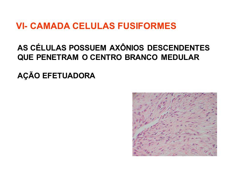 VI- CAMADA CELULAS FUSIFORMES