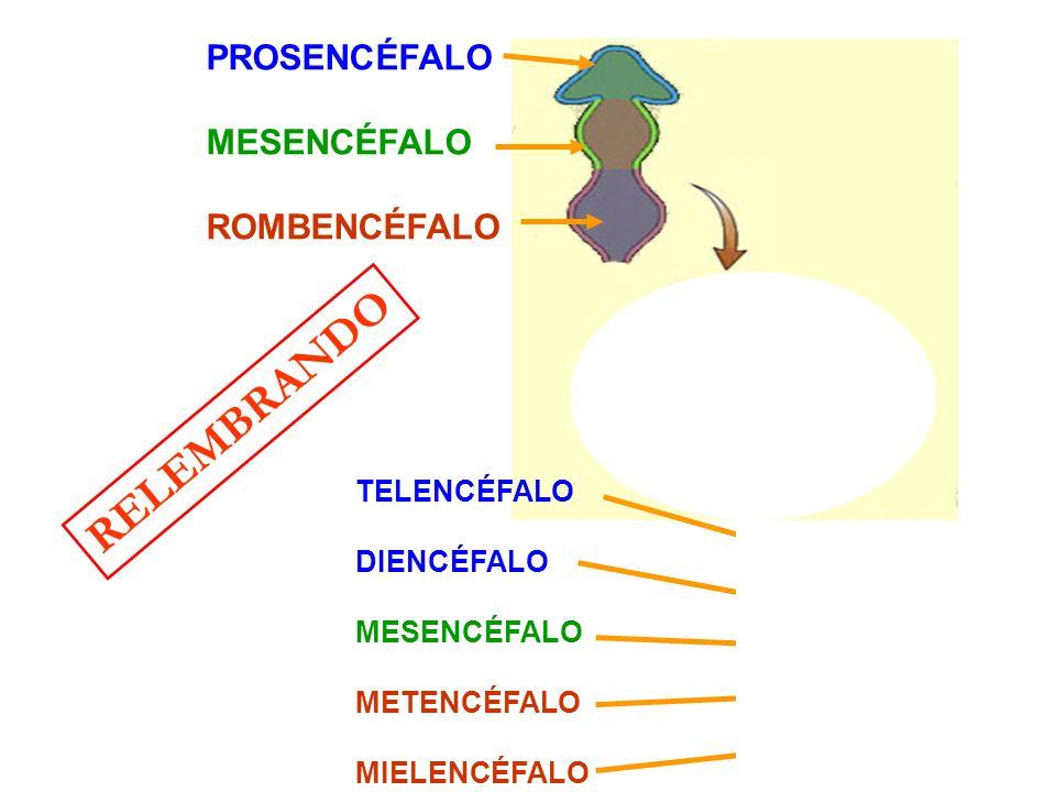 RELEMBRANDO PROSENCÉFALO MESENCÉFALO ROMBENCÉFALO TELENCÉFALO