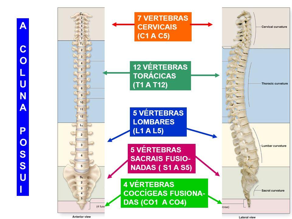 A C O L U N P S I 7 VERTEBRAS CERVICAIS (C1 A C5) 12 VÉRTEBRAS