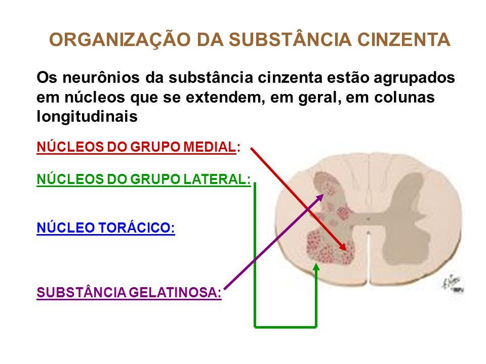 ORGANIZAÇÃO DA SUBSTÂNCIA CINZENTA