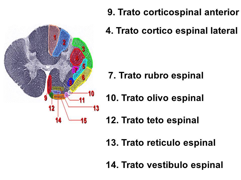 4. Trato cortico espinal lateral 7. Trato rubro espinal