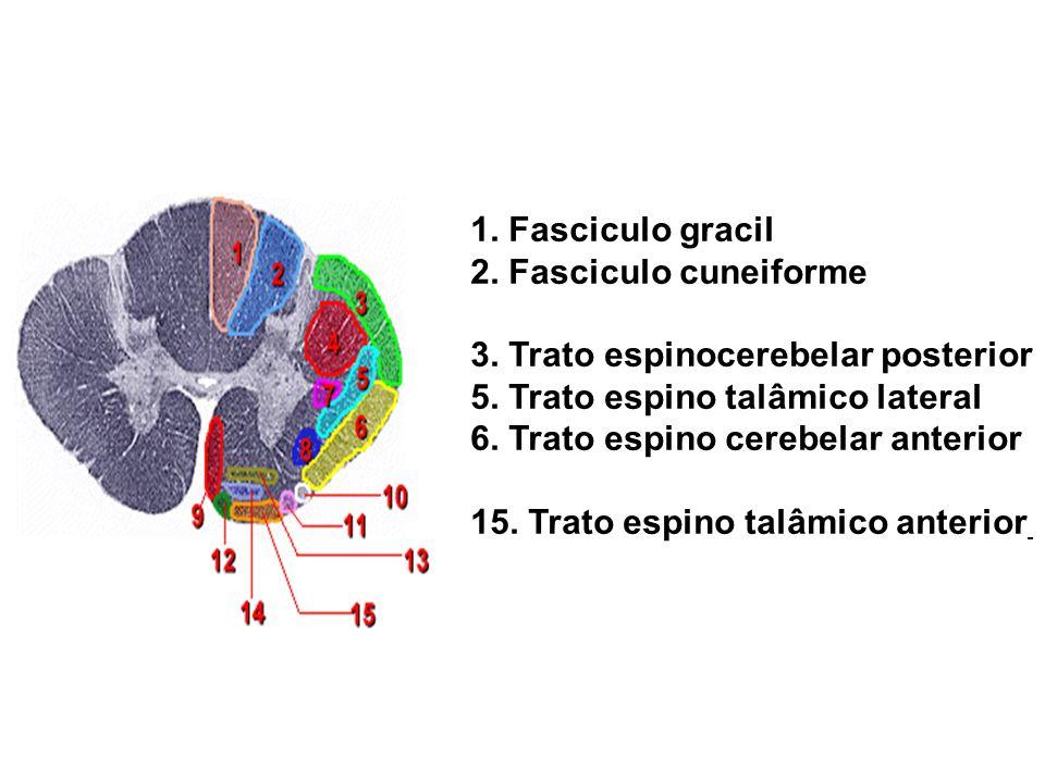 1. Fasciculo gracil 2. Fasciculo cuneiforme