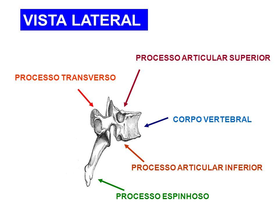 VISTA LATERAL PROCESSO ARTICULAR SUPERIOR PROCESSO TRANSVERSO
