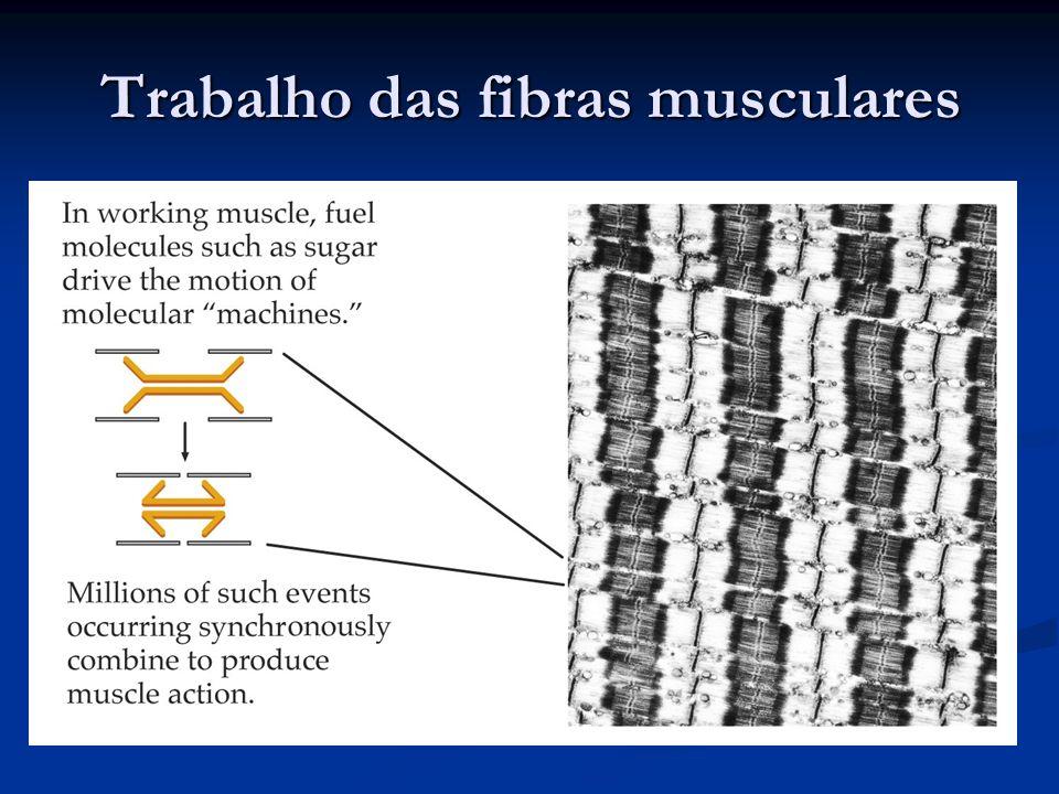 Trabalho das fibras musculares