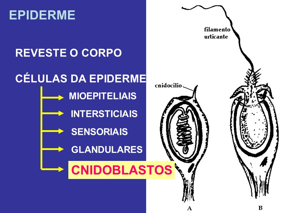 EPIDERME CNIDOBLASTOS REVESTE O CORPO CÉLULAS DA EPIDERME