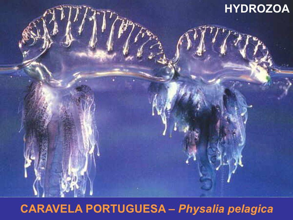 HYDROZOA CARAVELA PORTUGUESA – Physalia pelagica